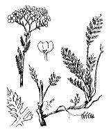 Photographie n°1980.png du taxon