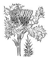 Photographie n°2004.png du taxon