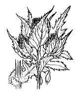Photographie n°2030.png du taxon