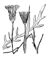 Photographie n°2134.png du taxon