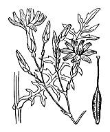 Photographie n°2184.png du taxon