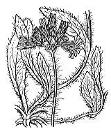 Photographie n°2239.png du taxon