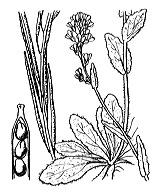 Photographie n°229.png du taxon