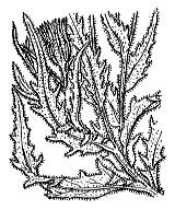 Photographie n°2305.png du taxon