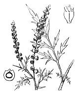 Photographie n°2320.png du taxon