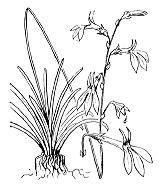 Photographie n°2322.png du taxon
