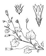 Photographie n°2325.png du taxon