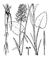 Photographie n°2338.png du taxon