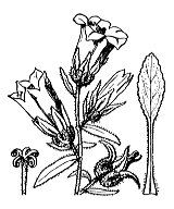 Photographie n°2346.png du taxon