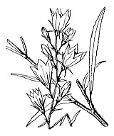 Photographie n°2357.png du taxon