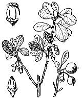 Photographie n°2373.png du taxon