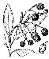 Photographie n°2375.png du taxon