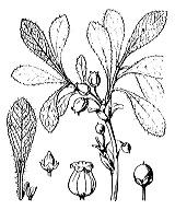 Photographie n°2377.png du taxon