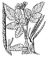 Photographie n°241.png du taxon