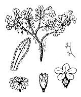Photographie n°2424.png du taxon