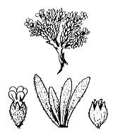 Photographie n°2425.png du taxon
