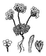 Photographie n°2428.png du taxon