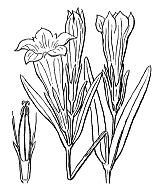 Photographie n°2508.png du taxon