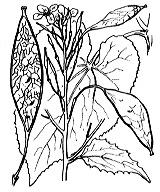 Photographie n°254.png du taxon