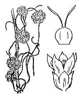 Photographie n°2541.png du taxon
