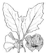 Photographie n°2629.png du taxon