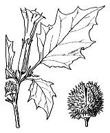 Photographie n°2631.png du taxon