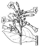 Photographie n°2634.png du taxon