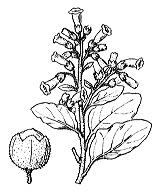 Photographie n°2635.png du taxon