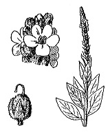 Photographie n°2638.png du taxon