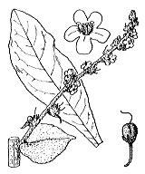 Photographie n°2640.png du taxon
