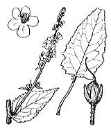 Photographie n°2643.png du taxon
