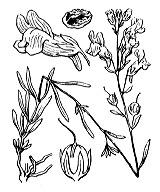 Photographie n°2690.png du taxon