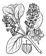 Photographie n°2714.png du taxon