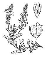 Photographie n°2721.png du taxon
