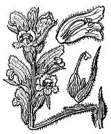 Photographie n°2815.png du taxon