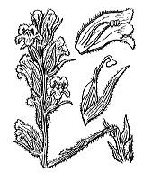 Photographie n°2816.png du taxon