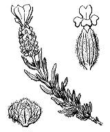 Photographie n°2836.png du taxon
