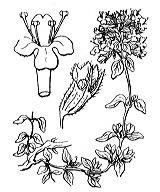 Photographie n°2850.png du taxon