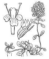 Photographie n°2854.png du taxon