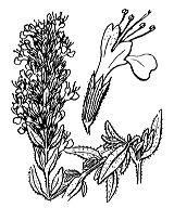 Photographie n°2863.png du taxon