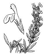 Photographie n°2864.png du taxon
