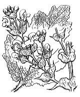 Photographie n°2889.png du taxon