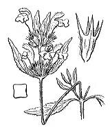 Photographie n°2921.png du taxon