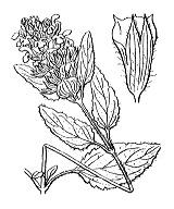 Photographie n°2964.png du taxon