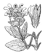 Photographie n°2965.png du taxon