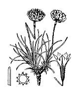 Photographie n°3026.png du taxon