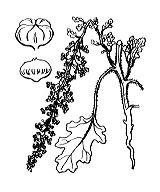 Photographie n°3088.png du taxon