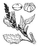 Photographie n°3099.png du taxon