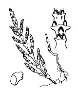 Photographie n°3109.png du taxon