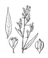 Photographie n°3142.png du taxon
